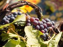 Die Ernte von Trauben in einem Korb in der Natur Lizenzfreie Stockfotos