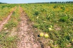 Die Ernte von Wassermelonen lizenzfreie stockbilder