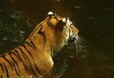 Die erstaunlich schöne Amur-Tigerschwimmen im Wasser Lizenzfreie Stockbilder