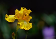Die erstaunliche gelbe Iris der Natur in der Blüte stockfotos