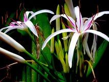 Die erstaunliche Spinnen-Lilie lizenzfreie stockfotos