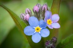 Die erste Blüte des Vergessung ich nicht Lizenzfreies Stockfoto