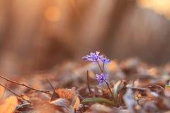 Die erste Frühlingsblume stockbilder