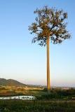 Die erste helle Sonne richten den großen Baum morgens aus. Stockbild
