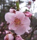 Die erste Pfirsich-Blüte in Georgia Lizenzfreies Stockfoto