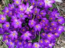 Die ersten Blumen des Frühlinges Lizenzfreies Stockfoto