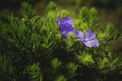 Die ersten Blumen, Frühling blüht, Primeln, blaue Blume, Gartenblume lizenzfreies stockfoto