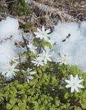 die ersten Blumen im Schnee lizenzfreies stockfoto