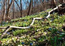 Die ersten Blumen im Wald Stockbilder