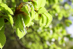 Die ersten Federblätter des Lindenbaums Stockfotografie