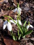 Die ersten Frühlingsblumen Stockbilder