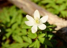 Die ersten Frühlingsblumen stockfotografie