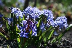 Die ersten Frühlingsblumen, blaue Blumen wachsen in der Wiese lizenzfreies stockfoto