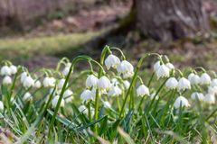 Die ersten Frühlingsblumen im Wald, Knospe von Schneeglöckchen, Symbol der Natur weckend im Sonnenlicht stockfoto