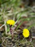 Die ersten Frühlingsblumen schließen oben Lizenzfreies Stockbild