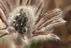 Die ersten Frühlingsblumen sind Traumgras Nahaufnahmemakroknospe in den Tropfen des Morgentaus Stockfotografie