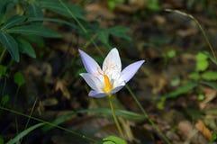 Die ersten Frühlingsblumen und -schnee Lizenzfreie Stockfotos