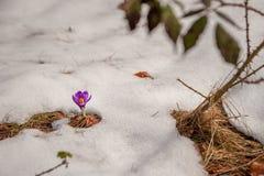 Die ersten Frühlingsblumen und -schnee Stockfotografie