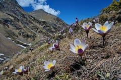 Die ersten Frühlingsblumen vor dem hintergrund der schneebedeckten Hügel von Kamchatka nahaufnahme Tal der Geysire stockfotos