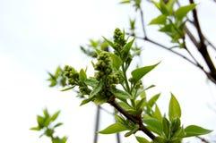 Die ersten Frühlingsknospen von Bäumen im Park Lizenzfreie Stockfotos
