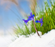 Die ersten Knospen der blauen Hyazinthe im Frühjahr Lizenzfreies Stockbild