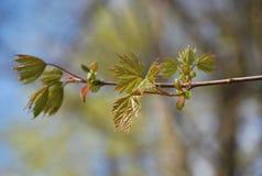 Die ersten schönen Zeichen des Frühlinges - kleine Knospen und Blätter stockfoto
