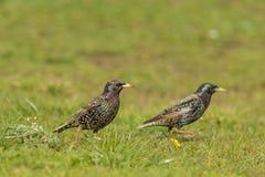 Die ersten Vögel, die im Frühjahr ankommen lizenzfreie stockfotos