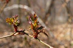 Die ersten zarten Knospen beginnen, sich an einem schönen und warmen Frühlingstag, in New York im Hinterland zu öffnen stockbilder