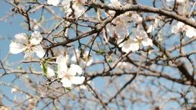 Die ersten Zeichen des Frühlinges Blühender Baum stock video footage