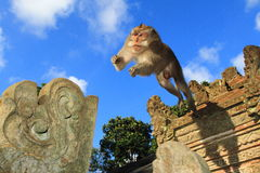 Die erwachsener Manneskrabbe, die Makaken isst, springen, Ubud-Affe-Tempel, Bali, Indonesien Stockfotos