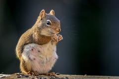 Die Erwartung des amerikanischen Eichhörnchens scheint zu lächeln, während sie einen Snack genießt Lizenzfreies Stockbild