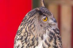 Die eurasische Adler-Eule (Bubo Bubo) Lizenzfreies Stockfoto
