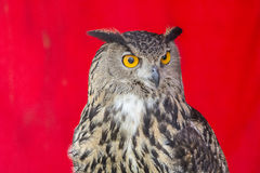 Die eurasische Adler-Eule (Bubo Bubo) Stockbilder