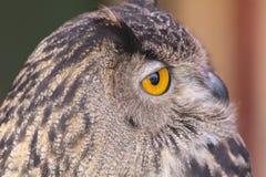 Die eurasische Adler-Eule (Bubo Bubo) Lizenzfreie Stockbilder