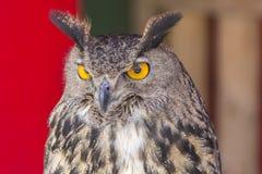 Die eurasische Adler-Eule (Bubo Bubo) Lizenzfreies Stockbild