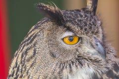 Die eurasische Adler-Eule (Bubo Bubo) Lizenzfreie Stockfotos