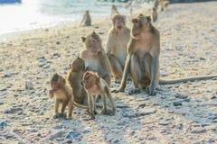 Die Familie des Affen auf dem Ufer Stockfoto
