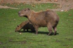 Die Familie des Capybaras Lizenzfreie Stockfotografie