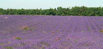 Die Farbe des Lavendels Stockbilder