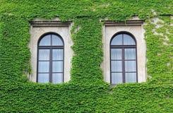 Die Fassade, die mit Efeu überwältigt wird, verlässt, zwei gewölbte Fenster Stockbild