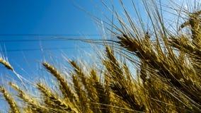 Die Felder des Goldes Lizenzfreie Stockbilder