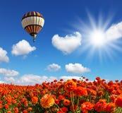 Die Felder von roten Gartenbutterblumeen Stockfotos