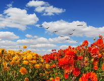Die Felder von roten und gelben Butterblumeen lizenzfreie stockbilder