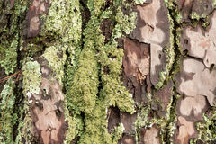 Die feuchte Nordamerikaner-Ostküsten-Kiefer-Barke machte vom Regen mit Moss Abstract Background nass Lizenzfreies Stockfoto