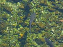 Die Fische, die in einem Wasser des Kotor-` s schwimmen, bellen, Montenegro Lizenzfreies Stockbild
