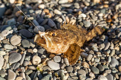 Die Fische gefangen auf der Fischerei eines Kampfläufers Stockfoto