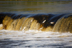 Die Fische springend in Wasserfall Lizenzfreie Stockfotos