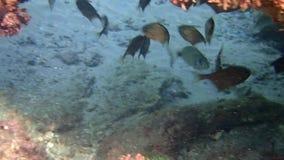 Die Fische Vanikoro-Kehrmaschine stock video
