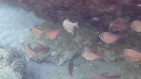 Die Fische Vanikoro-Kehrmaschine stock footage