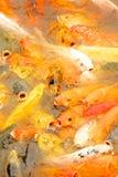 Die Fische wünschen das Lebensmittel Lizenzfreies Stockfoto
